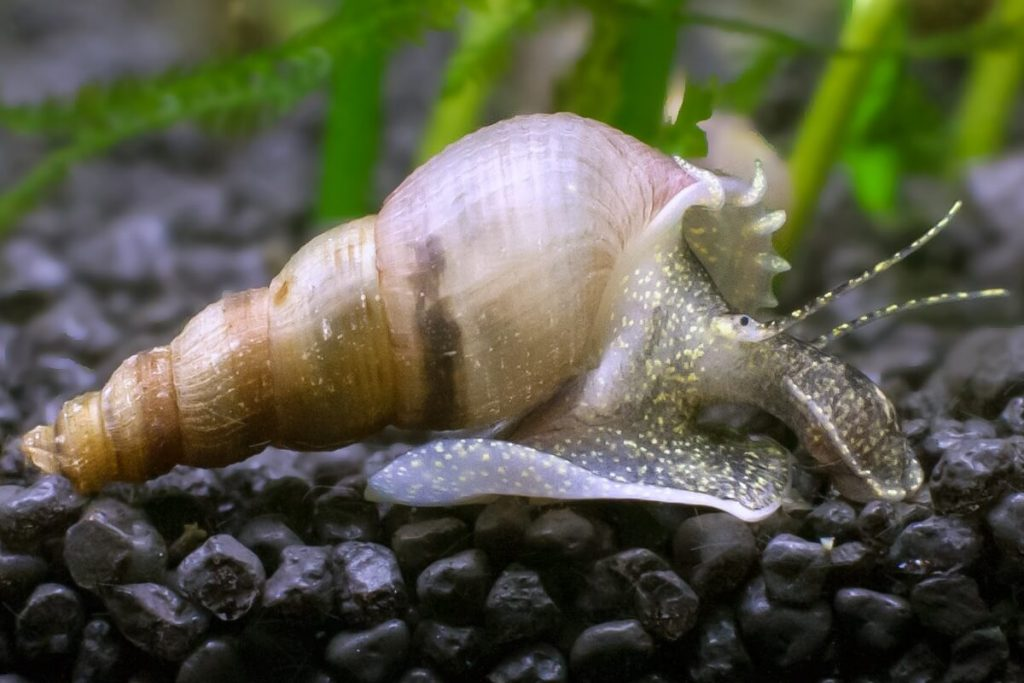 Caracol Melanoides Tuberculata